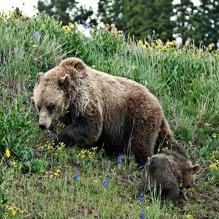 Королева-медведица