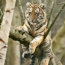 Как тигр кап-капа испугался