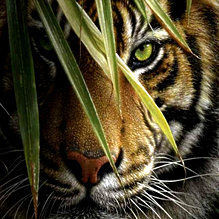 Свирепый тигр и хитрый У