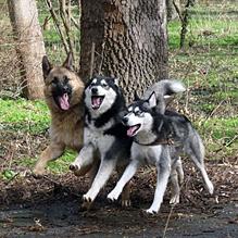 Три верных пса