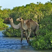 Почему верблюд оглядывается, когда пьёт