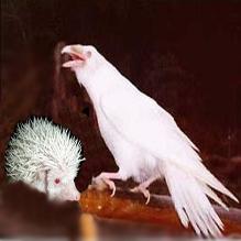 Ворона считает своего детёныша беленьким, а ёж - мягоньким