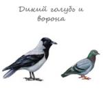 Дикий голубь и ворона