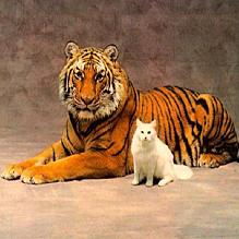 Кошка и тигр