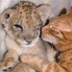 Кошка, вырастившая львёнка