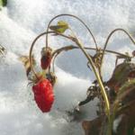 Зимняя земляника