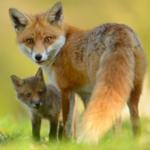 Лисица и лисёнок